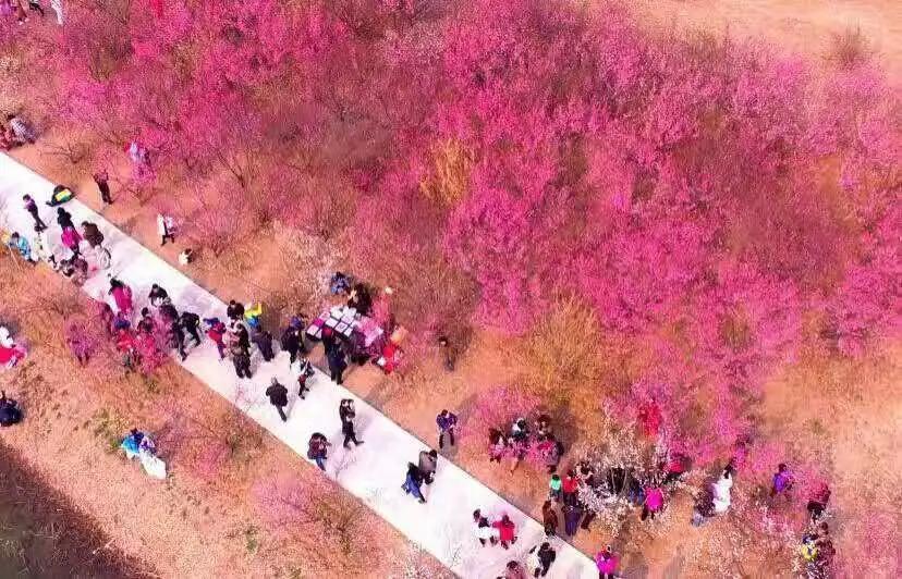 暖情三月 与梅相约 2019第四届泗洪洪泽湖湿地梅花节